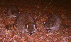 Mighty-Fortress-Raccoons
