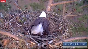 Berry College Eagle Cam