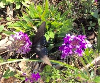 Swallowtail on Verbena by Philip Miron