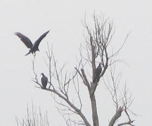 South Fork - Turkey Vultures
