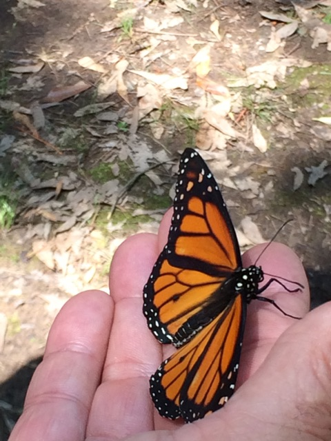 Monarch Butterflies at South Fork in Clinton AR