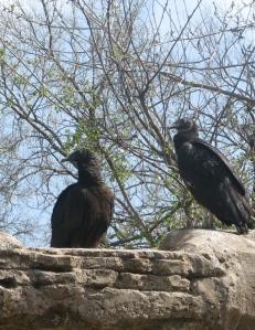 South Fork Nature Center - Black Vultures