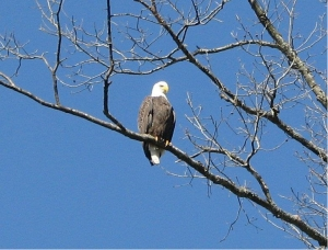 South Fork Eagle 2